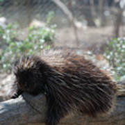 Sleeping Porcupine With Lots Of Quills Art Print