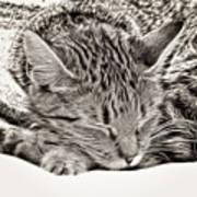 Sleeping Tabby Art Print