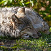 Sleeping Timber Wolf Art Print