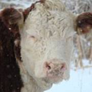 Sleepy Winter Cow Art Print