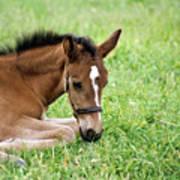 Sleepy Foal Art Print