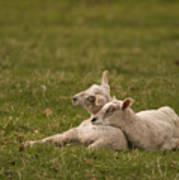 Sleepy Lamb Art Print