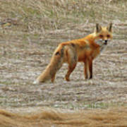 Sly Fox 5785 Art Print