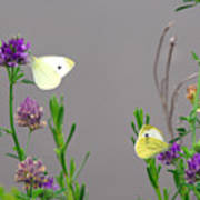 Small Butterflies Sipping Flower Nectar Art Print