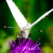 Small  White Cabbage Butterfly Pieris Rapae Art Print