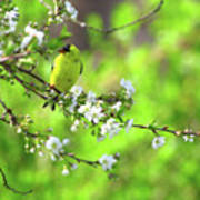 Smelling The Cherry Blossom Male  American Goldfinch Art Print