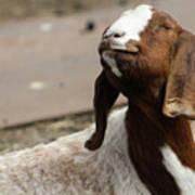 Smiling Goat  Art Print