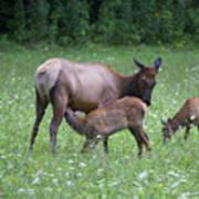 Smoky Mountain National Park Elk Cow Nursing Calf Art Print
