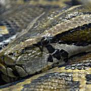 Snake At Rest. Art Print