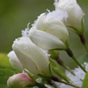 Snow Blossoms Art Print