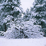 Snow Burdened Tree In The Flatirons Art Print