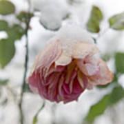 Snow-covered Rose Flower Art Print