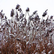 Snow Covered Wild Grass Art Print