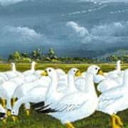 Snow Geese Gathering Art Print