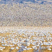 Snow Geese Take Off 1 Art Print