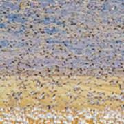 Snow Geese Take Off 3 Art Print