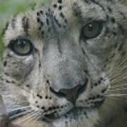Snow Leopard 10 Art Print