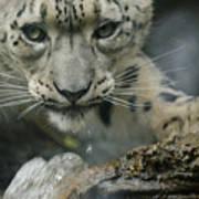 Snow Leopard 11 Art Print