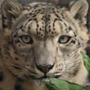 Snow Leopard 13 Art Print