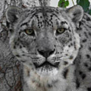 Snow Leopard 5 Posterized Art Print