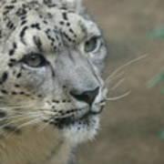 Snow Leopard 8 Art Print