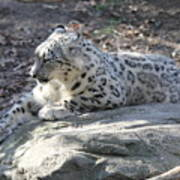 Snow-leopard Art Print