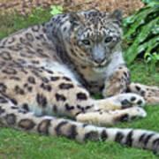 Snow Leopard, Doue-la-fontaine Zoo, Loire, France Art Print