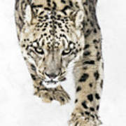 Snow Leopard On The Prowl X Art Print