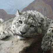 Snow Leopard Relaxing Art Print