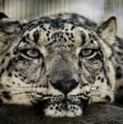 Snow Leopard Upclose Art Print