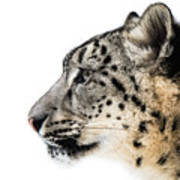 Snow Leopard Xv Art Print