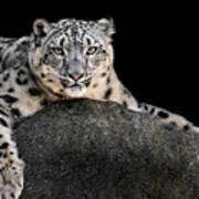 Snow Leopard Xxii Art Print