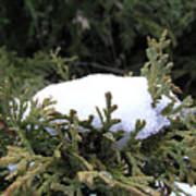 Snow On Cedar Tree Art Print