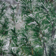 Snow On The Pine Art Print