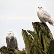 Snow Owls Of Boundary Bay Art Print