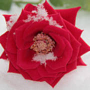 Snow Rose Art Print