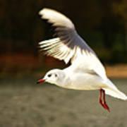 Snow White Seagull Art Print