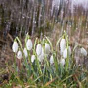 Snowdrops In The Garden Of Spring Rain 3 Art Print