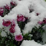 Snowy Chrysanthemums Art Print