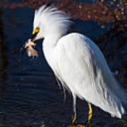Snowy Egret Eating Fish Art Print