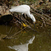 Snowy Egret Fishing From Branches Art Print