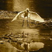 Snowy Egret Landing With Golden Tones Art Print