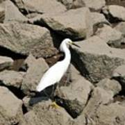 Snowy Egret On The Rocks Art Print