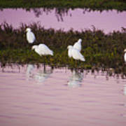 Snowy Egrets At Sunset Art Print