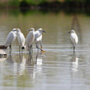 Snowy Egrets On Calm Water Art Print