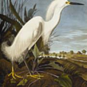 Snowy Heron Print by John James Audubon
