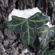 Snowy Ivy Art Print