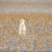 Snowy Owl 2016-4 Art Print