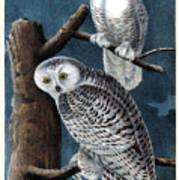 Snowy Owl Audubon Birds Of America 1st Edition 1840 Royal Octavo Plate 28 Art Print