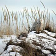 Snowy Owl In Dunes #2 Art Print